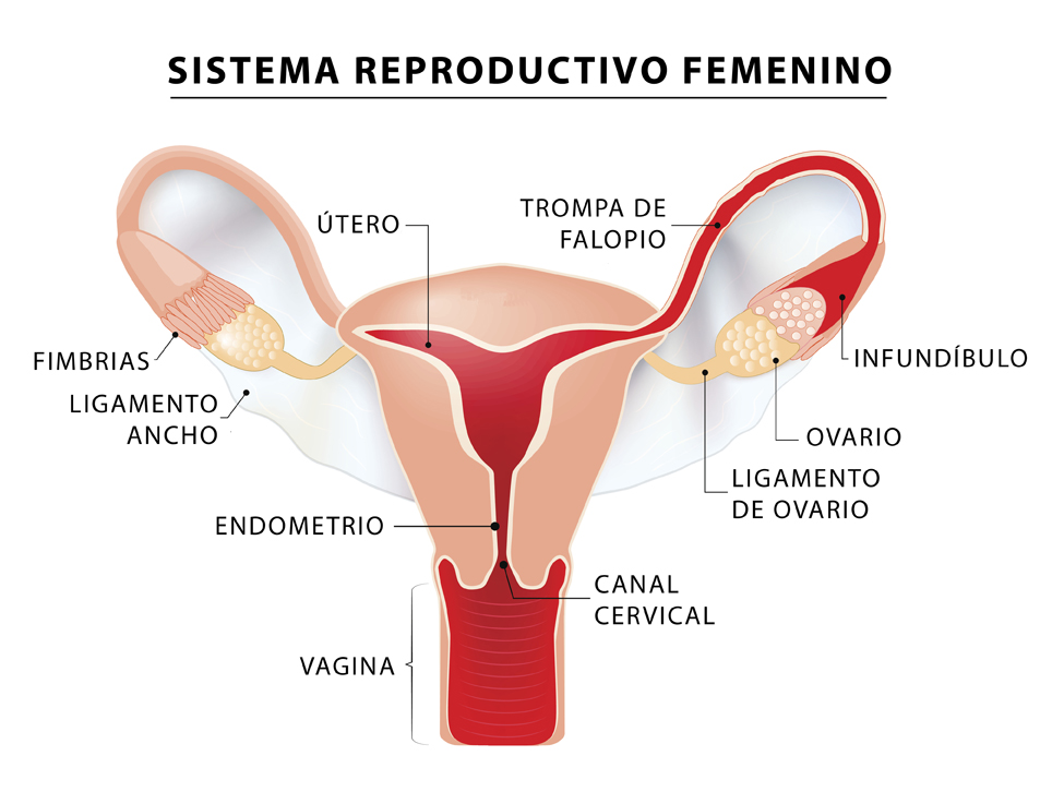 Female reproductive system (internal sex organs). uterus with broad ligament on the white background. Human anatomy